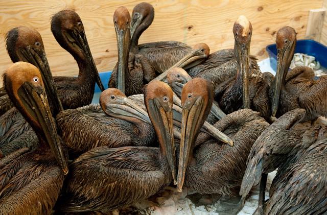 Загрязненные нефтью пеликаны. Фото: AFP